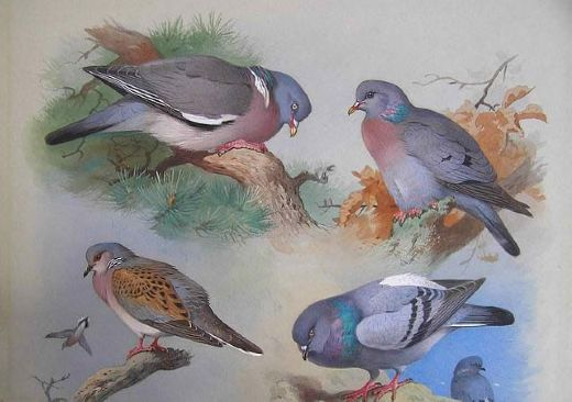 archibald thorburn a wood pigeon a stock dove a turtle dove a rock pigeon paintings