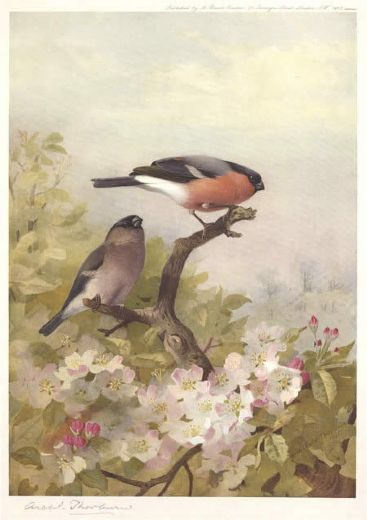 archibald thorburn cock and hen bullfinches paintings