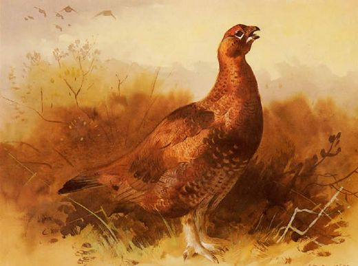 archibald thorburn cock grouse paintings