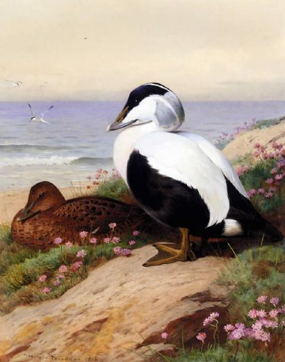 archibald thorburn common eider ducks painting