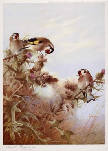 archibald thorburn goldfinches on thistles painting