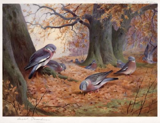 archibald thorburn wood pigeon on beech mast paintings
