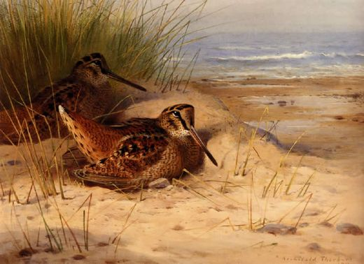 archibald thorburn woodcock nesting on a beach painting