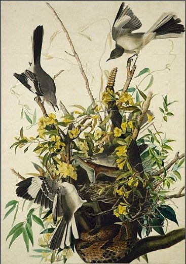 john james audubon mocking bird paintings