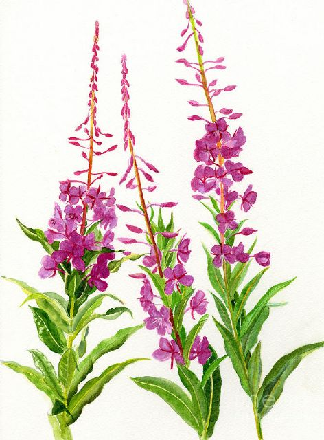 original alaska fireweed canada flowers painting