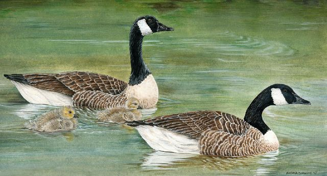 original canadian goose family canada birds painting
