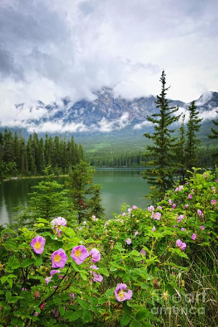 original wild roses and mountain lake in jasper national park canada flowers paintings
