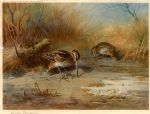archibald thorburn snipe probing paintings