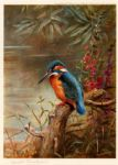 archibald thorburn summer kingfisher paintings
