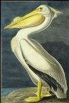 american acrylic paintings - american white pelican by john james audubon