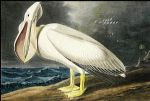 american acrylic paintings - american white pelican i by john james audubon