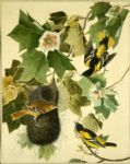 baltimore oriole by john james audubon painting