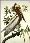 john james audubon brown pelican paintings