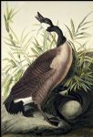 john james audubon acrylic paintings - canada goose by john james audubon