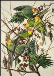 john james audubon acrylic paintings - carolina parrot by john james audubon