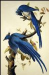 john james audubon original paintings - columbia jay by john james audubon