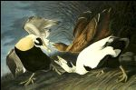 john james audubon acrylic paintings - eider duck by john james audubon