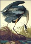 john james audubon acrylic paintings - great blue heron by john james audubon