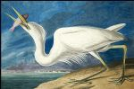 john james audubon acrylic paintings - great white heron by john james audubon