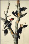 john james audubon acrylic paintings - ivory billed woodpecker by john james audubon