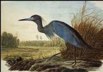 john james audubon acrylic paintings - little blue heron by john james audubon
