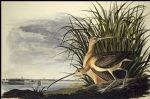 john james audubon acrylic paintings - long billed curlew by john james audubon