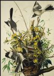 bird famous paintings - mocking bird by john james audubon
