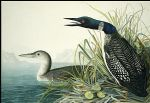 john james audubon northern diver painting