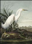 snowy heron by john james audubon painting