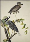 john james audubon acrylic paintings - yellow crowned heron by john james audubon