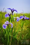 original blue flag iris canada flowers  posters