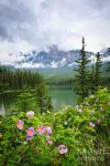original wild roses and mountain lake in jasper national park canada flowers painting